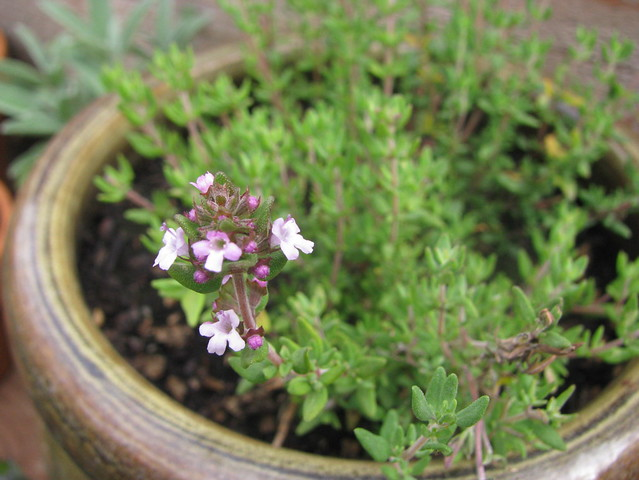 thyme, in flower