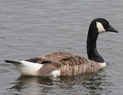 Cool Canada (Jacqui Herrington:) Tags: bird nature scotland wildlife perthshire goose canadagoose swt lochofthelowes