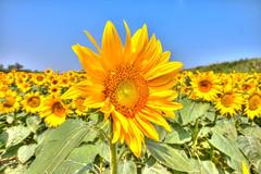 girasole-- (FiPremo) Tags: giallo fiori sole hdr girasole