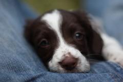 IMG_4287 (chrisgandy2001) Tags: dog cute english puppy cuddly spaniel springer springerspaniel doggy pup puppydog floppyears englishspringerspaniel englishspringer