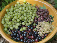 Ribes Harvest (Mark Angelini) Tags: permaculture edibleforestgarden erictoensmeier holyokeforestgarden johnathanbates