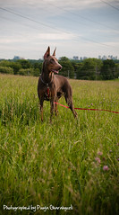 (Pooya Gh.) Tags: dog toronto cute girl field grass animal female puppy fur big eyes weed friend young fast best mans fawn bailey friendly doberman easy leash paws dogpark quadruped as