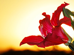 flores - bauhinia blakeana (Edison Zanatto) Tags: sunset brazil naturaleza sun flores flower macro sol southamerica nature braslia closeup brasil backlight jaune sunrise atardecer soleil flora nikon natureza natur laranja flor prdosol gelb giallo  cerrado blume crpuscule sonne ocaso sonneuntergang alvorada tarde controluce anochecer anoitecer coucherdesoleil crepsculo nascente contrallum puestadelsol americadosul poente puestas ptalas fimdetarde bauhinia bauhiniablakeana luscofusco sdamerika cerradobrasileiro centrooeste nikond200 dilculo postadelsol regiocentrooeste crepsculovespertino unhadevaca postadosol baunia continentesulamericano bauniablaqueana edisonzanatto