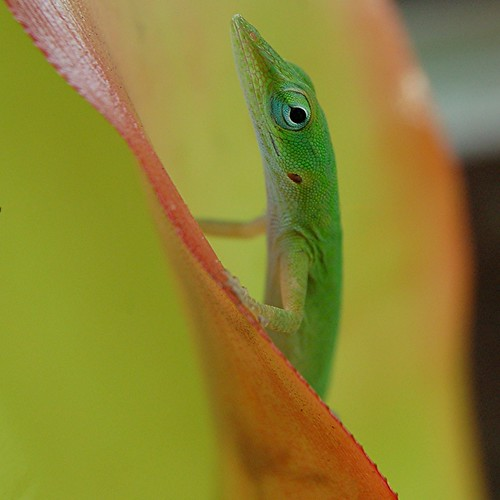 Curious Anole couldn't stand not knowing whether I was still there... or not