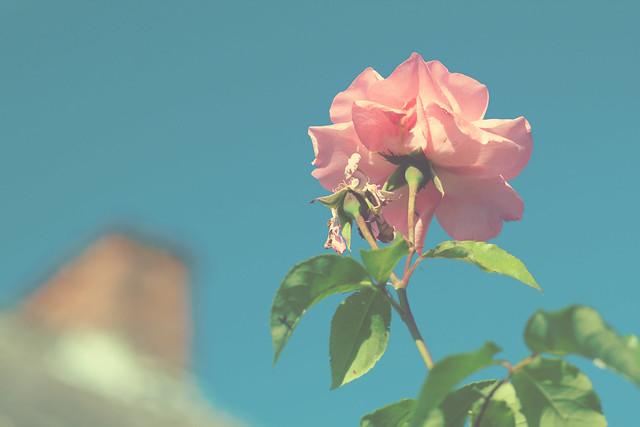 Rose & Chimney