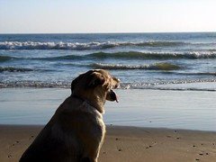 Dog at the beach watching the ocean