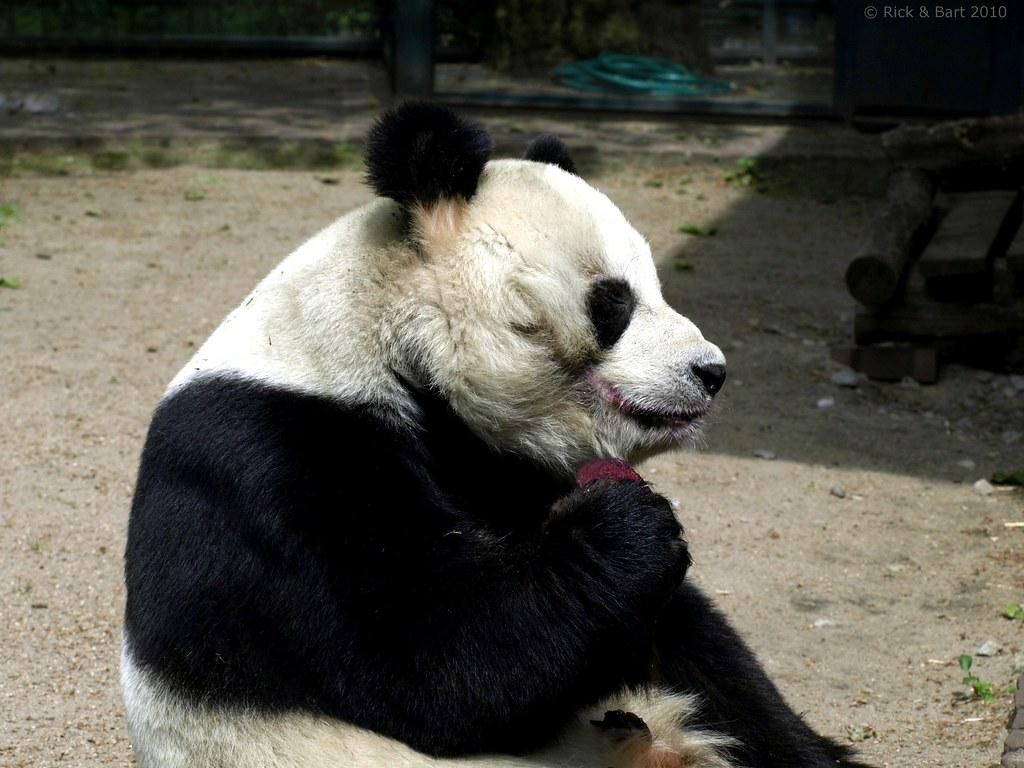 Giant Panda / Reuzenpanda