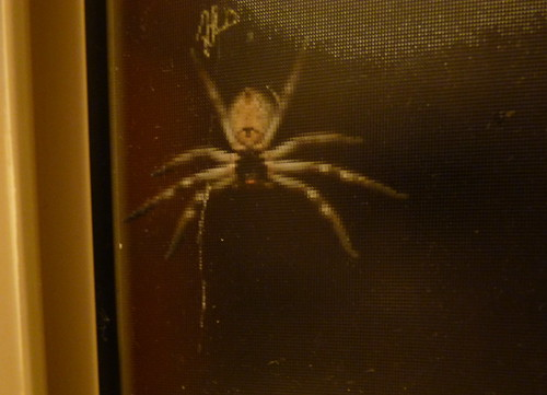 Hunstman spider outside the bathroom window.