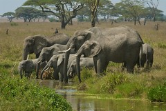 Elephant Family (Dave Schreier) Tags: africa family baby elephant water grass dave tanzania pond drinking large serengeti herd schreier wwwdlsimagescom