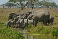 Elephant Family (Dave Schreier) Tags: africa family baby elephant water grass dave tanzania pond drinking large serengeti herd schreier wwwdlsimagescom
