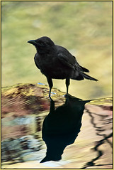Crow's Lore in Reflection (TT_MAC) Tags: reflection bird nature crow victoriabc pinnaclephotography crowmythology