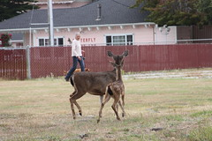 deer watching a dog 2 (AmyKay1974) Tags: montereybay deer pacificgrove pacificgrovecemetary