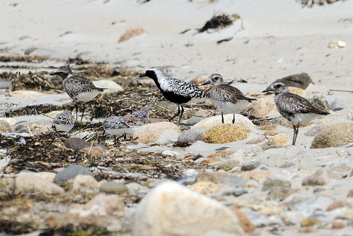 black bellied plover family