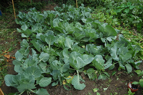 cabbages jul 10