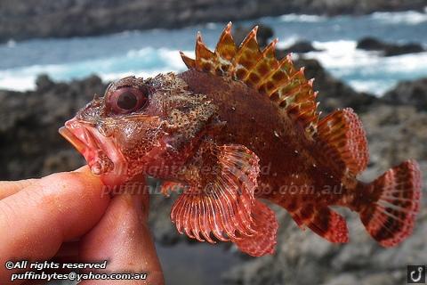 Madeira Scorpionfish - Scorpaena maderensis