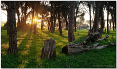 Forest Sunset (Panorama Paul) Tags: sunset panorama durbanville pineforest nohdr sigmalenses nikfilters nikond300 wwwpaulbruinscoza paulbruinsphotography