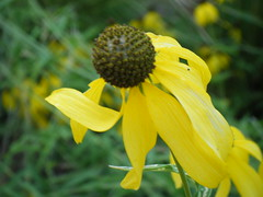 yellow coneflower Photo