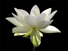 "Flower / White flower / sun / nature / White ""Lotus Flower in the Early Morning Sun""  / green / - IMG_2956 (Bahman Farzad) Tags: morning summer sun white black flower color macro green nature water yoga tattoo reflections painting whiteflower early key colorful peace waterlily lily lotus painted low touch relaxing calming peaceful meditation therapy healing morningsun wellness  lotusflower flowerwhite lotuspetal  platinumphoto lotuspetals  lotosblume fleurdelotus    lotusflowerintheearlymorningsun lotusflowerpetals lotusflowerpetal"