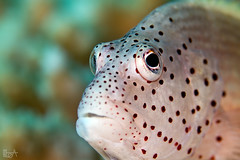 Beautiful face (Lea's UW Photography) Tags: underwater redsea fins unterwasser hawkfish canonef100mm korallenwächter canon7d leamoser