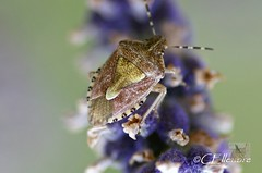 Brutwanze / true bug (2) (Ellenore56) Tags: light inspiration color colour macro nature animal bug insect licht klein little sony natur environment imagination alpha creature makro farbe insekt tier wanze ecological wanzen umwelt truebug insecta elasmuchagrisea faszination heteroptera lebewesen a350 fluginsekt pflanzensauger dslra350 sonyalphadslra350 ellenore56 22072010 brutwanze brutwanzen