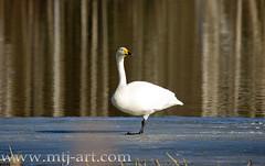 Cygnus cygnus / Laulujoutsen (Mtj-Art - Thanks for over 1,5M views :)) Tags: summer bird nature birds suomi finland swan swans kes lintu joutsen laulujoutsen mtjart markuskauppinen joutsene valonkuvaaja valonkuvaajacom mtjartcom