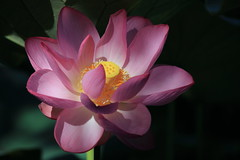 Lotus on Black (Apricot Cafe) Tags: pink flower green yellow japan tokyo東京 canonef70200mmf4lisusm yakushiikepark薬師池公園 lotusハス nelumbonuciferaハス