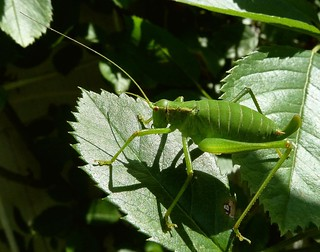 Ensifera / Langfühlerschrecke ♀