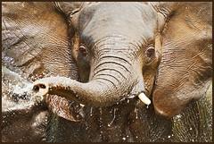 The nozzleman (hvhe1) Tags: africa elephant nature water animal southafrica bravo wildlife trumpet mala olifant naturesfinest malamala interestingness5 specanimal nozzleman hvhe1 hennievanheerden