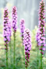 liatris (Sally E J Hunter) Tags: toronto flower garden purple liatris blazingstar moo1 gayfeather 35mmf18