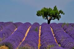 Plateau de Valensole (bautisterias) Tags: flowers summer france fleurs purple lavender fields provence fiori 花 midi lavande francia southoffrance vangogh provenza lavanda cézanne fontaines valensole provençal plateaudevalensole champsdelavande プロヴァンス