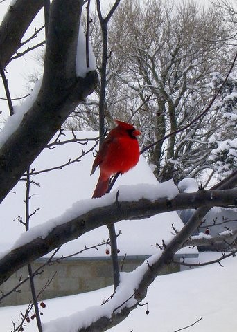 Cardinal After an Early Snow