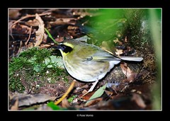 Yellow-throated Scrubwren (Ross_M) Tags: birds queensland lamingtonnationalpark passeriformes sericorniscitreogularis nikond300 acanthizidae yellowthroatedscrubwren