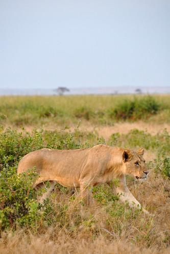 LionStalk