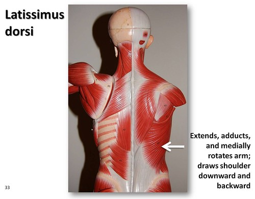 latissimus dorsi - muscles of the upper extremity visual atlas,