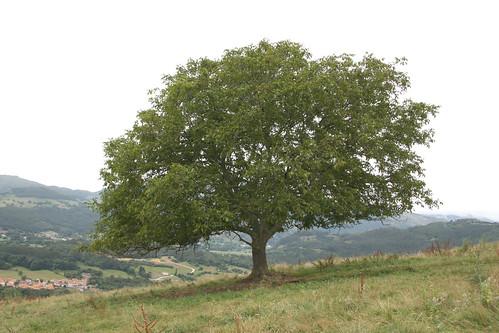 Ideal Tree
