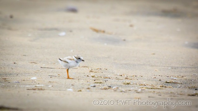 08_01_10 Juvi Piping Plover