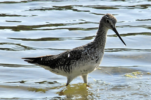 greater yellowlegs pocasset III
