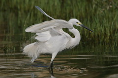 Show Off (jcowboy) Tags: bird heron nature birds animal animals japan bravo asia wildlife aichi egret herons 2010 egrets obu specanimal avianexcellence july2010 obuoike