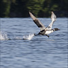 Watch this guy run over water (NaPix -- (Time out)) Tags: blue trees lake canada green nature water action wildlife running splash loon gaviaimmer greatnortherndiver canonef70200mmf4lisusm canonef14xiiextender napix greatnorthernloon magicunicornverybest