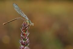 Agrion dans la rosée du matin (Fabrice Cadillon) Tags: nature butterfly demoiselle damselfly charente 2010 poitou agrion charentes poitoucharentes