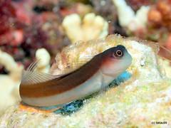 Tachai Reef, Thailand