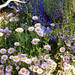 Seaside Daisy 'Wayne Roderick' with Penstemon 'Margarita BOP'