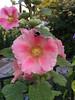 The Bees (Chris Dahl1) Tags: flowers iphone urbanpark sunsetflower