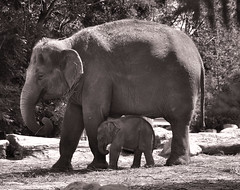 Groot en klein - Large and small (RuudMorijn) Tags: bw baby elephant netherlands monochrome anne zoo la rotterdam blijdorp klein small daughter mother large adorable fil mama e holanda zoolgico elephants lovely filha calf elefant mutter ibu gajah fille paysbas me jo