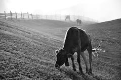 (miri orenstein) Tags: morning bw italy alps photography cow nikon dolomites d90