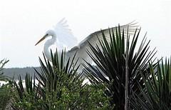 Egret with Wings Spread (jimbo5451) Tags: seagulls pelicans birds florida photos wildlife flamingo ibis herons egrets shorebirds