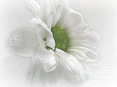 ~ White Beauty ~ (brendamb - Brenda) Tags: white flower macro ngc chrysanthemum whiteonwhite tmi whitebeauty mywinners excellentsflowers awesomeblossoms brendamb fleursetpaysages