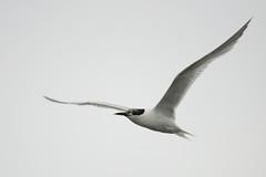Sandwich Tern. (stonefaction) Tags: nature birds scotland angus wildlife south basin montrose faved esk