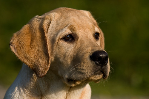 yellow Labrador Retriever - Harris