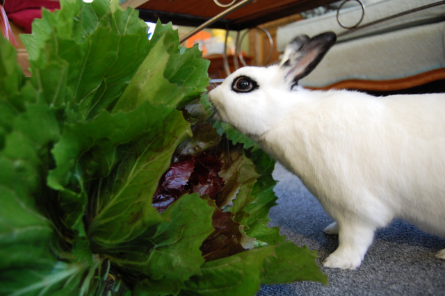 Yoshimi Battles The Massive Radicchio